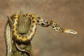 A Taiwan Beauty Rat Snake