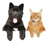 Cat And Dog Together Above Banner, Isolated On White Background. American Akita Puppy And Maine Coon poster