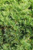 Conifer Branch (Fir, Pine) Background