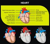 Human Heart Section Parts (Aorta, Right & Left Atrium & Ventricle, Pulmonary Artery, Tricuspid Aorti
