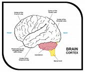 Human Brain Diagram - including ( cortex of frontal, partial, occipital, temporal Lobes ) - Useful f