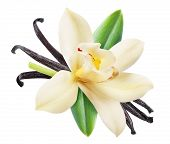 Dried vanilla sticks and orchid vanilla flower. File contains clipping path. poster