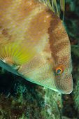 stock photo of hogfish  - Close focus of Hogfish swimming downwards with copy space below - JPG