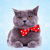 image of tied hair  - bored big english cat with red bibbon at its neck on blue background - JPG
