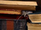 Close-up The Young Mouse Sleeps  On Pile Of Old Books In The Library. Concept Of Rodent Control. poster