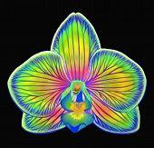 Fantasy Phalaenopsis Orchid Flower