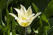 Tulips Of The Ballade White  Species On A Flowerbed. poster
