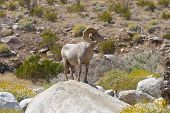 Desert Bighorn Sheep In Anza Borrego Desert.