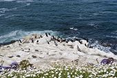 Pelicans And Brandt's Cormorant Birds On White Rocks On The Pacific Ocean Coast.