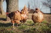 Group Of Hens Feeding On Barn Yard On Sunset.  Brown Hens Looking For Food In Farm Yard. Chickens St poster