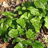 image of arum  - Arum maculatum is a common woodland plant species of the Araceae family - JPG