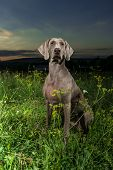 Weimaraner Dog Standing Outdoors