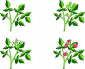 Raspberry growth phases
