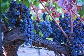Cabernet_Fruit