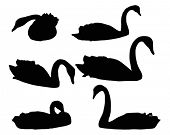 illustration with set of swimming swans isolated on white background