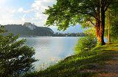 Summer tree on a coast of Bled lake. Slovenia