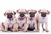 four bored mops puppy dogs sitting and standing on white background. one of them has his eyes closed