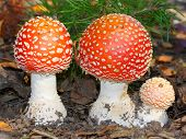 The Fly Amanita (Amanita muscaria) mushroom is now primarily famed for its hallucinogenic properties