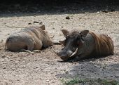 Napping Warthogs