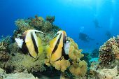 Pair of Tropical Fish (Red Sea Bannerfish) and Scuba Divers