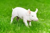 One young piglet on green grass at pig breeding farm