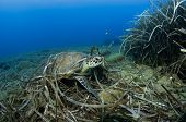 Green turtle, Chelonia mydas, lying on sea grass