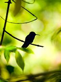 Silhouette Of The Rufous-tailed Hummingbird (amazilia Tzacatl) Perched On A Branch
