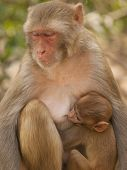 stock photo of macaque  - Mother macaque feeding her baby At the Monkey Temple (Galwar Bagh)- Jaipur India