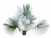 Bismarck Palm Tree Isolated On White
