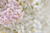 Yarrow (Achillea) Flowers Close-up