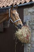 Closeup of a brown horse eating hay outside stable