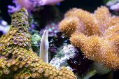 White Eel On Coral Reef