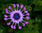 Flor da Margarida africana