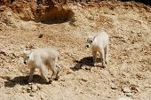 Children Of Mountain Goat,canadian Rockies,canada