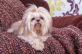 Young shih tzu posing on a chair against a damask background.