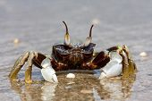 stock photo of carapace  - Natural crab on the sand against the sea at beach - JPG