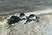 Baby Swallows In Nest