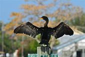 Cormorant drying his wings in the sun