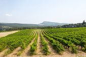Vineyard In Provence