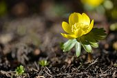 Winter Aconite, Eranthis Hyemalis