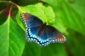 Red Spotted Purple (limenitis Arthemis Astyanax)