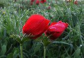 Anemones And Dew