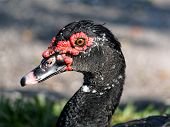 Muscovy Duck Up Close