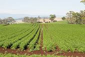 foto of rich soil  - Field of Carrots in neat rows on rich farmland soil - JPG