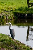 Grey Heron Or Ardea Cinerea Fishing At The Waterside