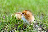 Little cute chicken on green grass, outdoors