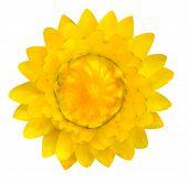 Yellow Strawflower, Helichrysum Bracteatum Isolated On White