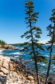 Pine Trees By Rocky Shore