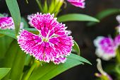 Dianthus Chinensis