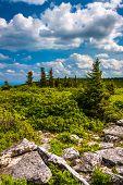 Rocks And Pine Trees At Bear Rocks Preserve, Monongahela National Forest, West Virginia.